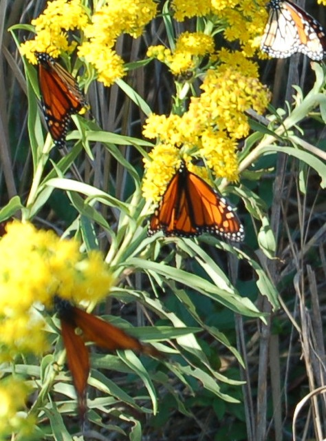 Monarch butterflies at Cape May, NJ, photographed by Doris Jeanette