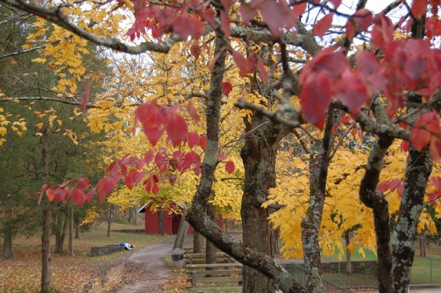 Bright red maple trees in PA park.
